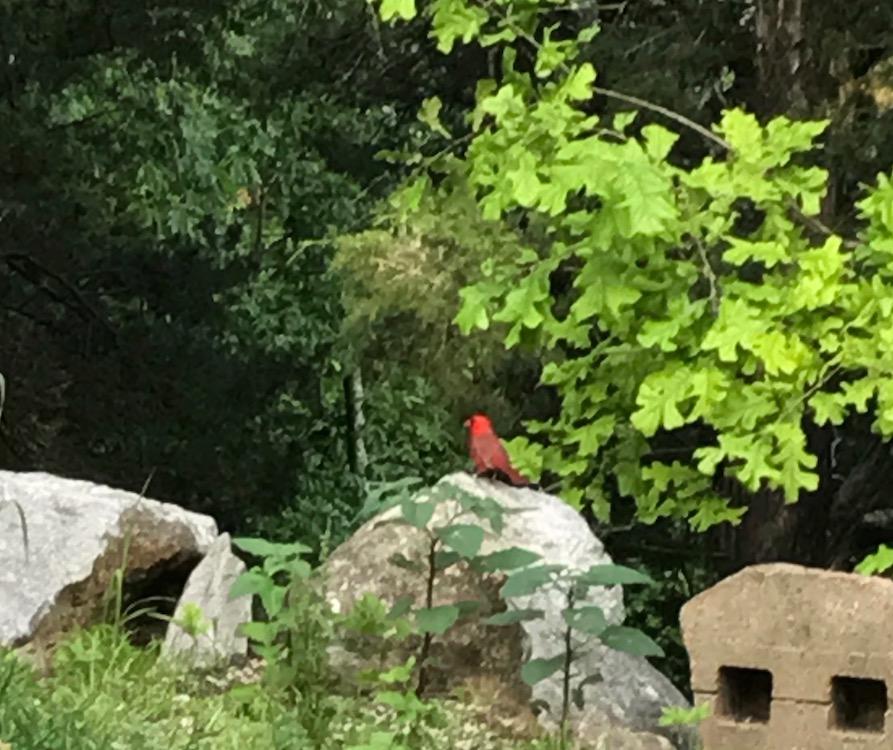 Cardinal, the state bird